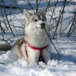 Portret van Siberische husky in de winter — Stockfoto