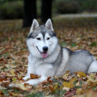 Portrait of siberian husky in autumn — Stock Photo #2302097