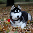 Portrait of siberian husky in autumn — Foto Stock