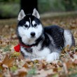 Portrait of siberian husky in autumn — Stock Photo #2302259