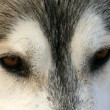 Bewitching sight Siberian husky — Stock Photo