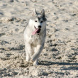 Siberian Hasky running in beach — Stock Photo