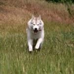 Siberian husky running on a grass — Stock Photo #2305539