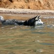 Siberian Hasky bathing in the sea — Stockfoto