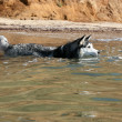 Siberian Hasky bathing in the sea — Foto Stock