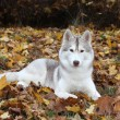 Portrait of siberian husky - Stock Photo