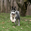 Siberian husky  running on a grass — Stock Photo