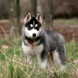 Stock Photo: Portrait of siberian husky