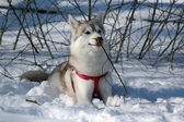 Portrait of siberian husky in winter — Stock Photo