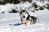 Portrait of siberian husky in winter — Stock Photo