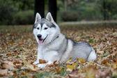 Portrait of siberian husky in autumn — Stock Photo