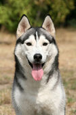 Portrait of siberian husky in summer — Stock Photo