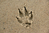 Print of a paw Siberian husky — Stock Photo