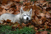 Portrait of siberian husky in autumn — Stock Photo
