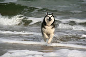 Husky running on the sea — Stock Photo