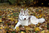 Portrait of siberian husky in autumn — Стоковое фото