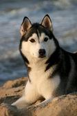 Portrait of siberian husky in summer — Stock Photo