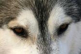 Bewitching sight Siberian husky — Stock Photo