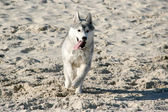 Siberian Hasky running in beach — Стоковое фото