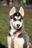 Portrait of siberian husky puppy — Stock Photo
