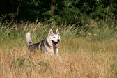 Siberian Haski running in park — Stockfoto