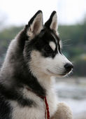 Portrait of siberian husky puppy — Stock Photo