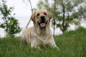 Portrait of labrador retriever — Stock Photo