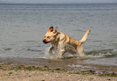 Retriever running on the sea — Stock Photo