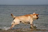 Retriever running on the sea — Stock Photo