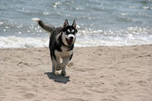 Siberian Hasky puppy running — Stock Photo