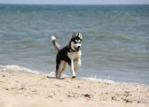 Siberian Hasky running in beach — Foto Stock