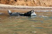Siberian Hasky bathing in the sea — Stock Photo