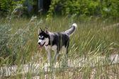 Siberian husky körs på en gräs — Stockfoto
