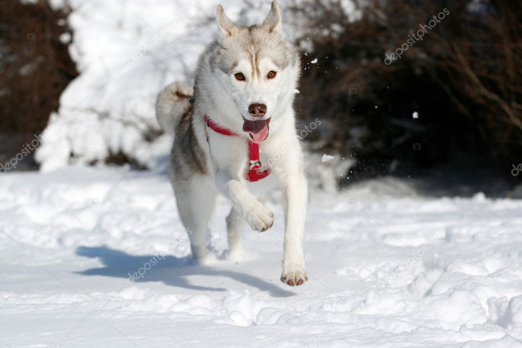 depositphotos 2300864 Siberian husky running in snow Aussie Surf Lifesavers In Trunks. by Marc on December 15, 2010