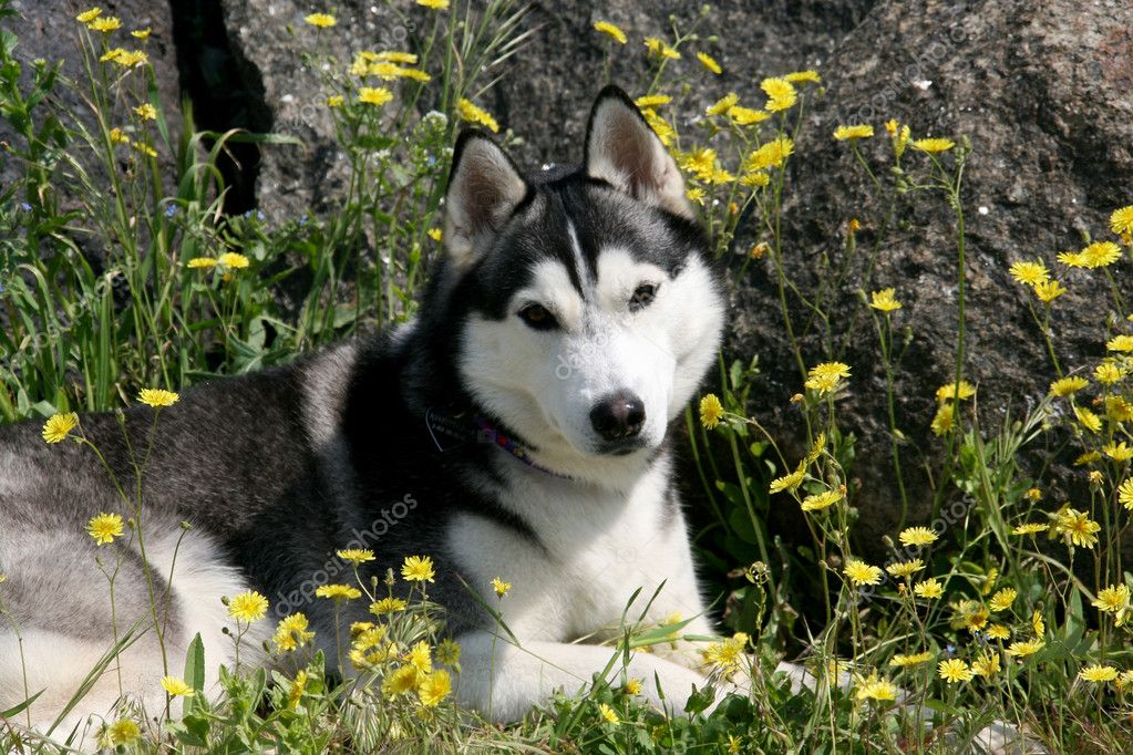 Portrait of siberian husky in summer  — Stock Photo #2302019
