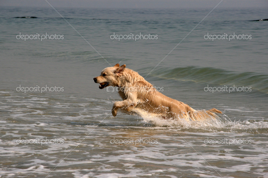 Golden retriever running on the sea  Stock Photo #2304636