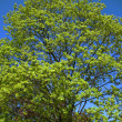 Maple branches against the blue sky — Stock Photo #2363162