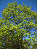 Maple branches against the blue sky — Stock Photo