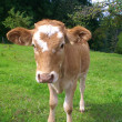 Stock Photo: Calf grazing on meadow