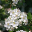 Blossoming hawthorn bush — Foto Stock