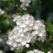 Foto Stock: Blossoming hawthorn bush