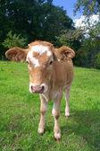 теленок, пасущихся на лугу — Стоковое фото