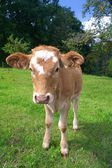Calf grazing on meadow — 图库照片