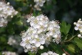 Blühende weißdorn-busch — Stockfoto