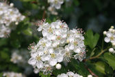 Blossoming hawthorn bush — Stockfoto