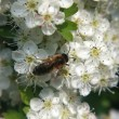 Foto Stock: Bee on flowered hawthorn