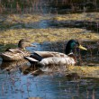 Couple of ducks — Stockfoto #2281582