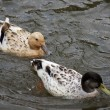 Couple of ducks — Stock fotografie