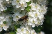 Bee on flowered hawthorn — Stock Photo