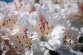 Spring blooming of Rhododendron, Azalea — Photo